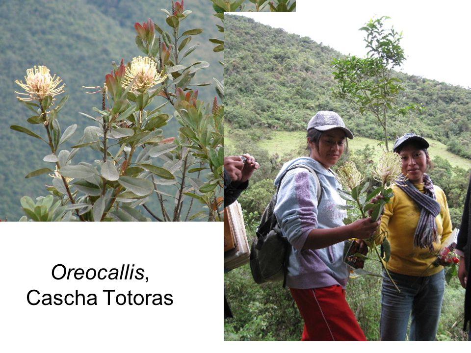 Oreocallis, Cascha Totoras