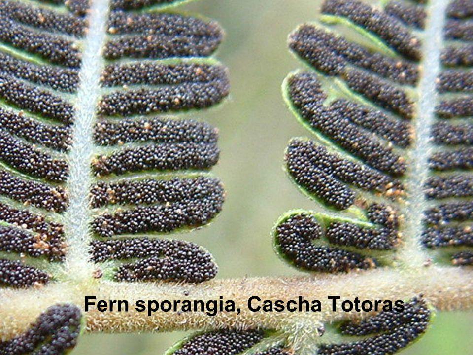 Fern sporangia, Cascha Totoras