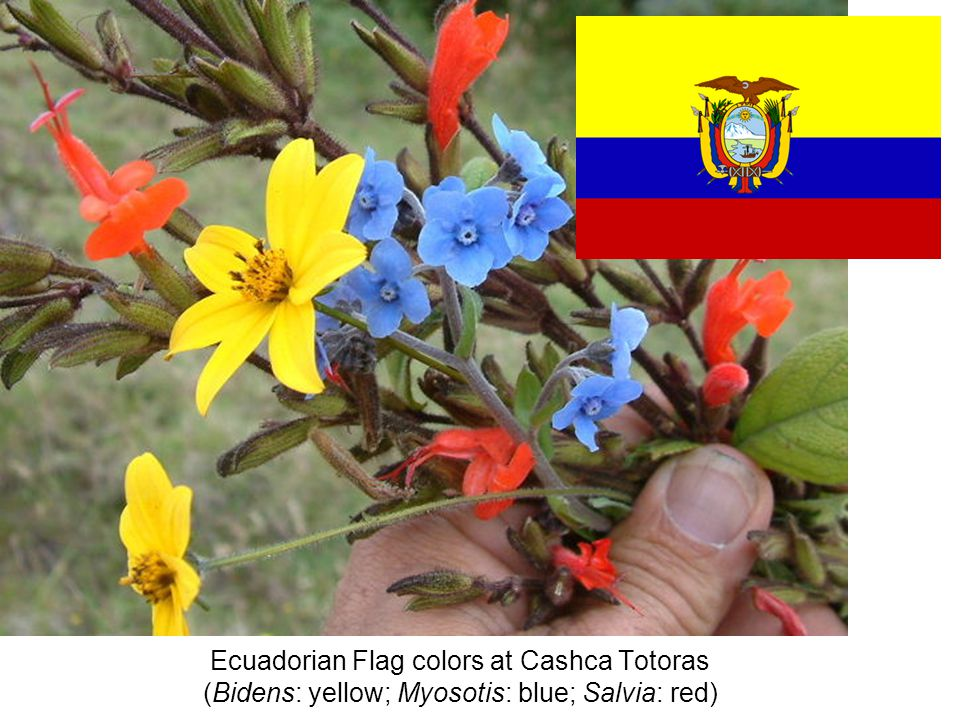 Ecuadorian Flag colors at Cashca Totoras (Bidens: yellow; Myosotis: blue; Salvia: red)