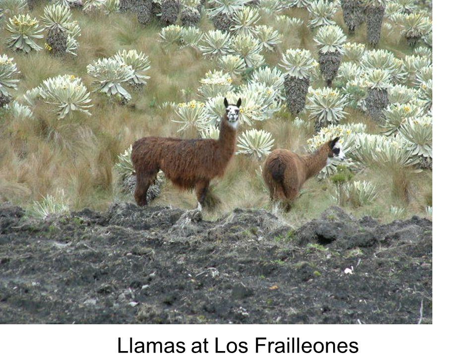 Llamas at Los Frailleones