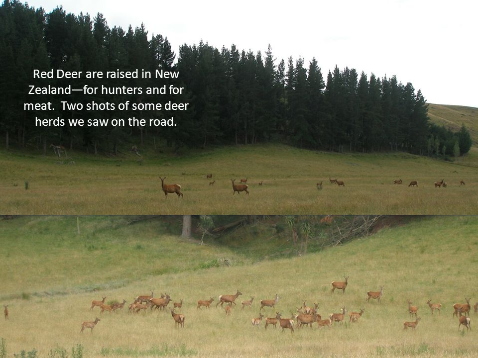Red Deer are raised in New Zealandfor hunters and for meat.