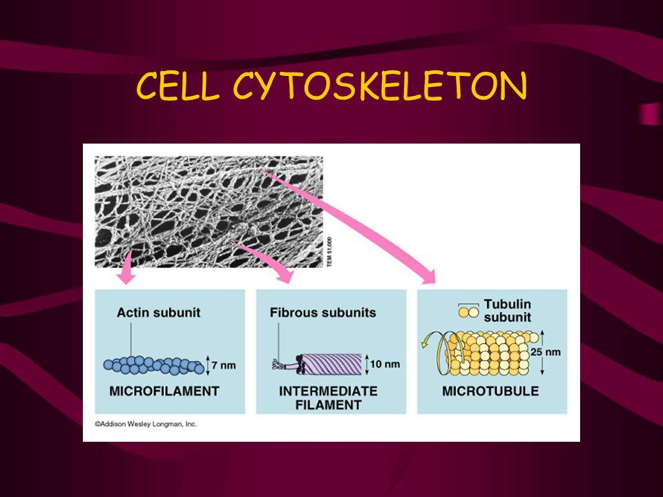 CELL CYTOSKELETON