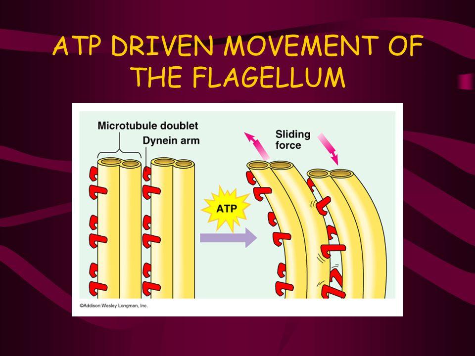 ATP DRIVEN MOVEMENT OF THE FLAGELLUM