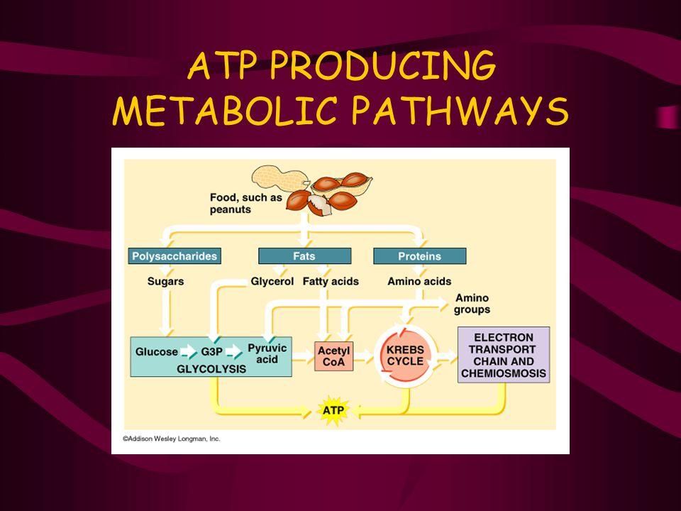 ATP PRODUCING METABOLIC PATHWAYS