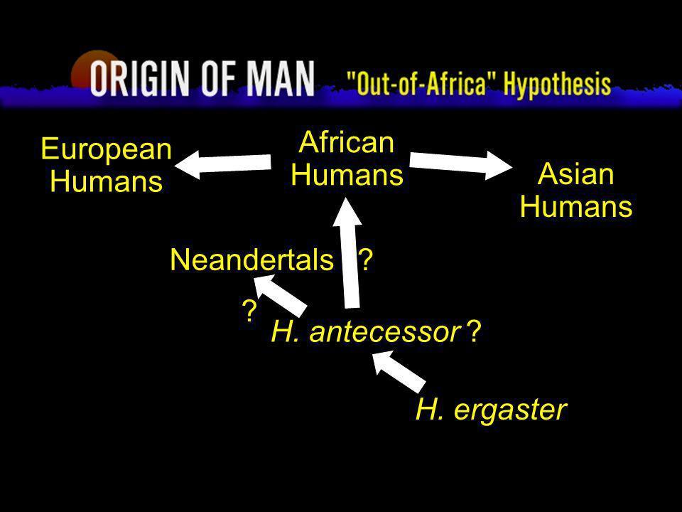 46 Origin of Man Out-of-Africa Hypothesis H. ergaster African Humans European Humans Asian Humans Neandertals H. antecessor ? ? ?