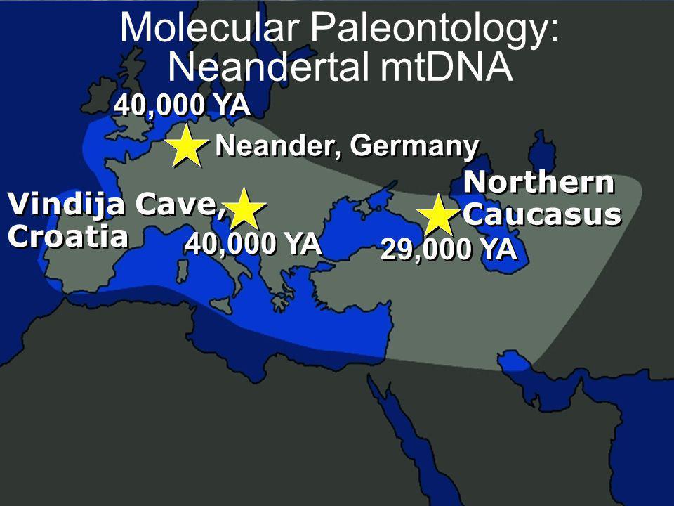 55 Molecular Paleontology: Neandertal mtDNA 40,000 YA Neander, Germany 40,000 YA Vindija Cave, Croatia Vindija Cave, Croatia 29,000 YA Northern Caucas