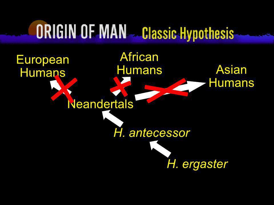 61 Origin of Man Classic Hypothesis Neandertals H. antecessor H. ergaster European Humans African Humans Asian Humans