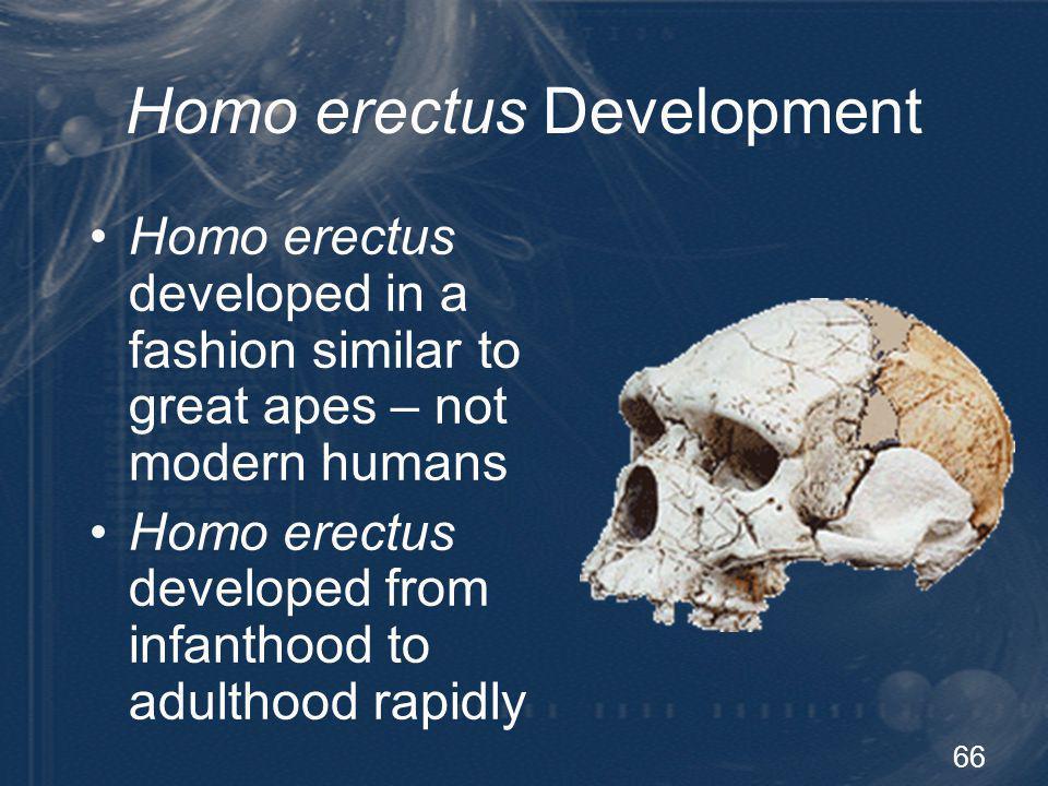 66 Homo erectus Development Homo erectus developed in a fashion similar to great apes – not modern humans Homo erectus developed from infanthood to ad