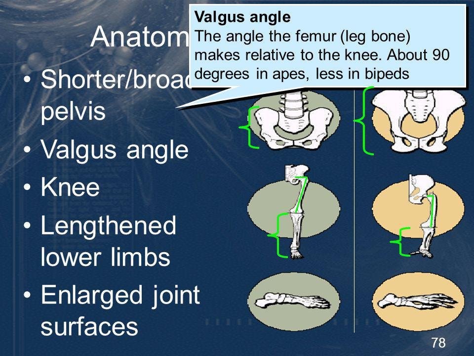 78 Anatomy of Bipedalism Shorter/broader pelvis Human Great Ape Valgus angle The angle the femur (leg bone) makes relative to the knee. About 90 degre