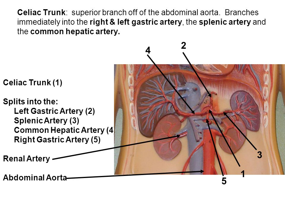Celiac Trunk: superior branch off of the abdominal aorta. Branches immediately into the right & left gastric artery, the splenic artery and the common