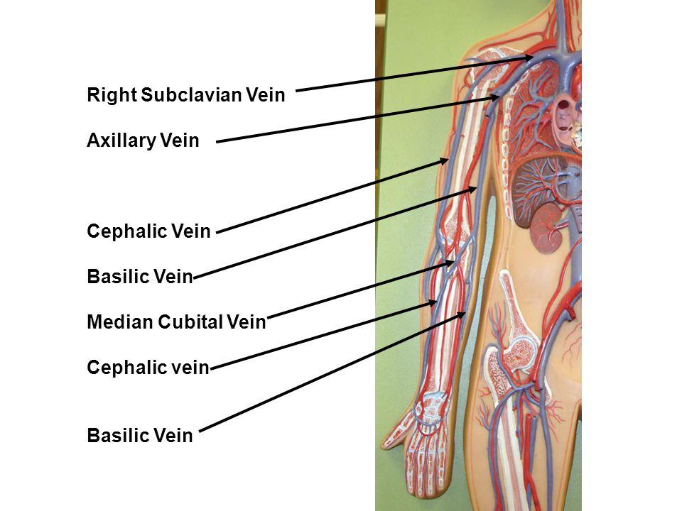 Exelent Antecubital Vein Pictures - Human Anatomy Images ...