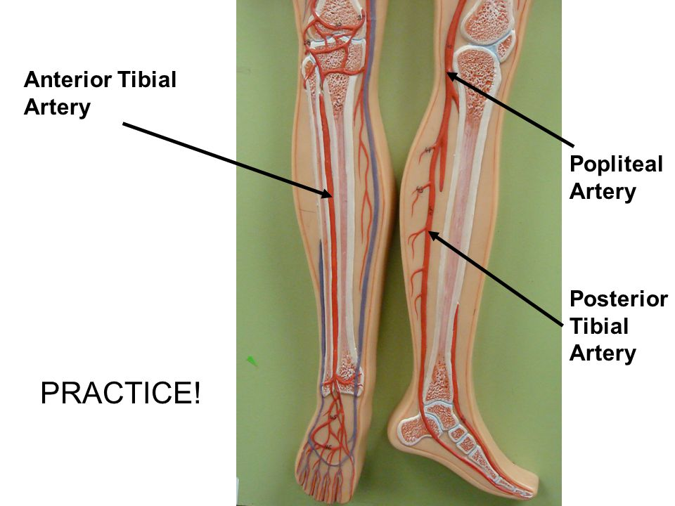 Anterior Tibial Artery Popliteal Artery Posterior Tibial Artery PRACTICE!