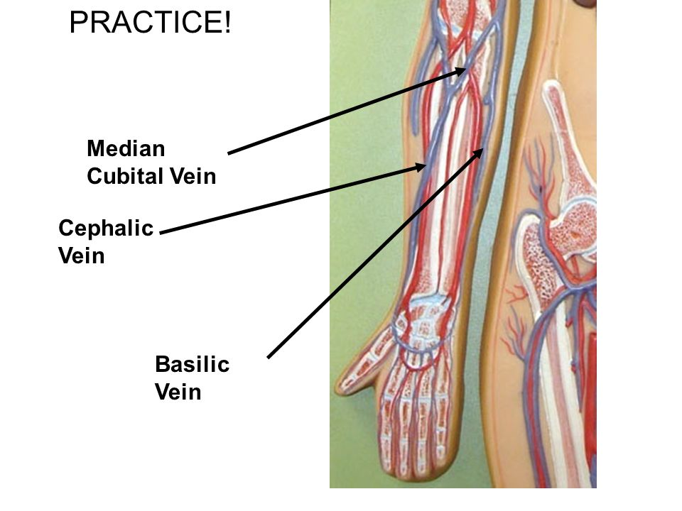 cephalic vein define – applecool, Cephalic vein