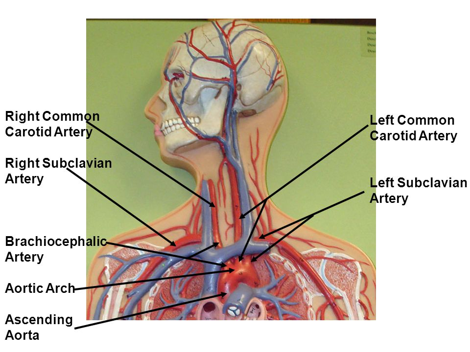 Hepatic Portal Vein: drains the blood of the digestive viscera, spleen and pancreas and delivers it to the liver.