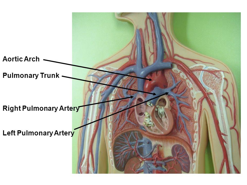 Right Subclavian Artery Axillary Artery Brachial Artery Radial Artery Ulnar Artery