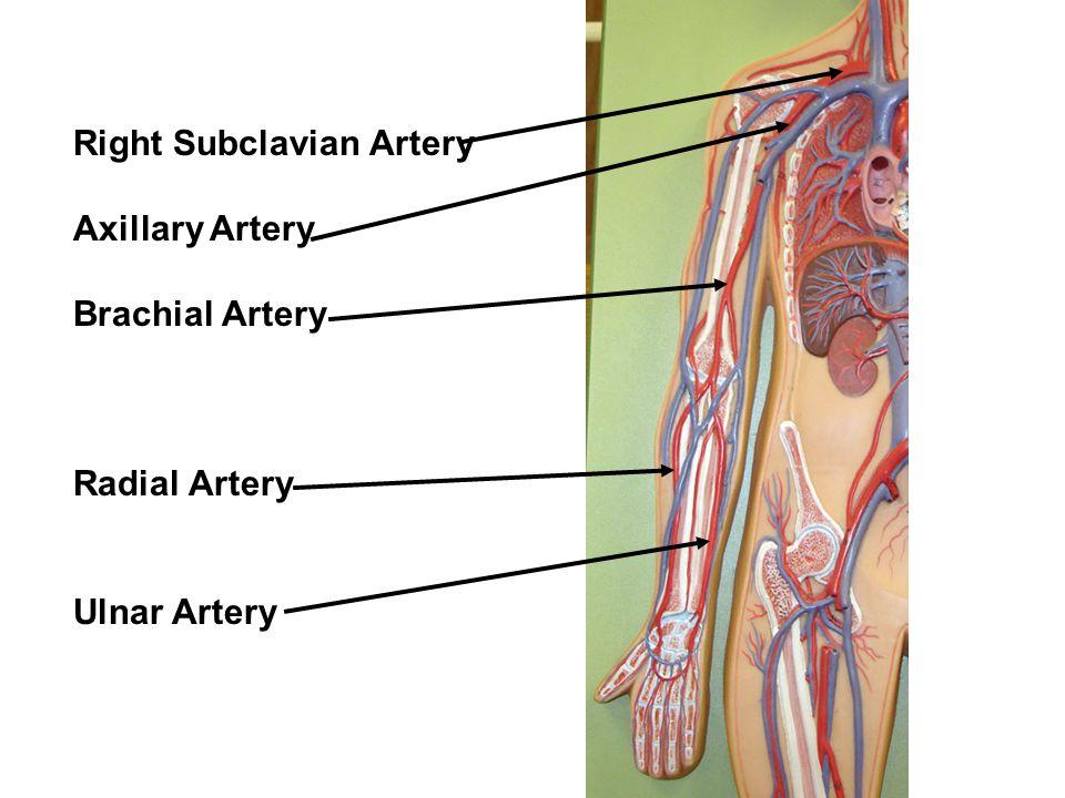 Labeling Slides Arteries