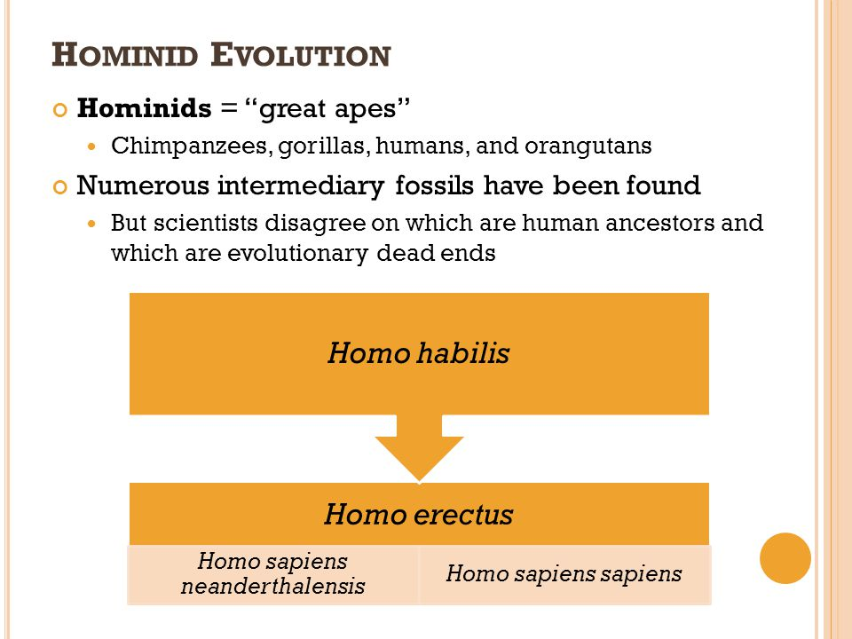 H OMINID E VOLUTION Hominids = great apes Chimpanzees, gorillas, humans, and orangutans Numerous intermediary fossils have been found But scientists d