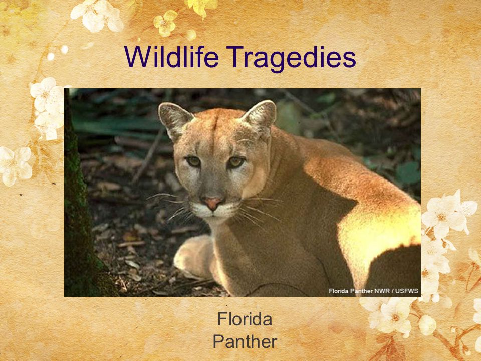 Wildlife Tragedies Florida Panther