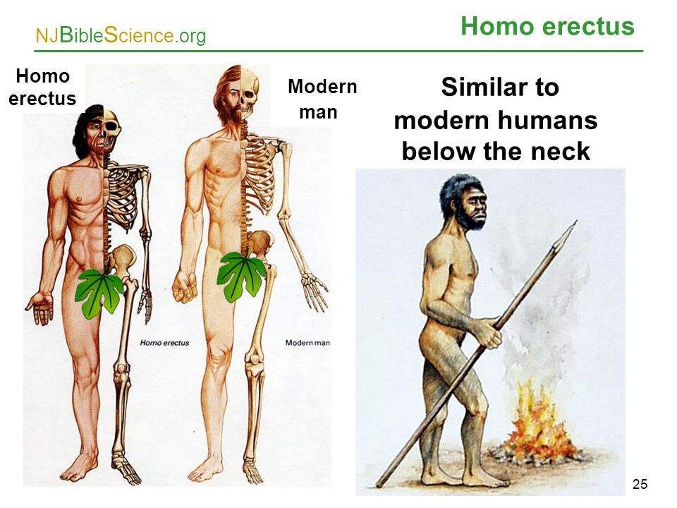 NJ B ible S cience.org Homo erectus 25 Similar to modern humans below the neck Homo erectus Modern man