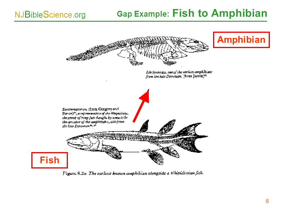 NJ B ible S cience.org 6 Gap Example: Fish to Amphibian Amphibian Fish