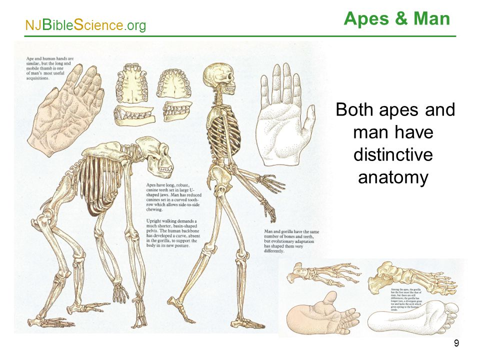 NJ B ible S cience.org Apes & Man 9 Both apes and man have distinctive anatomy