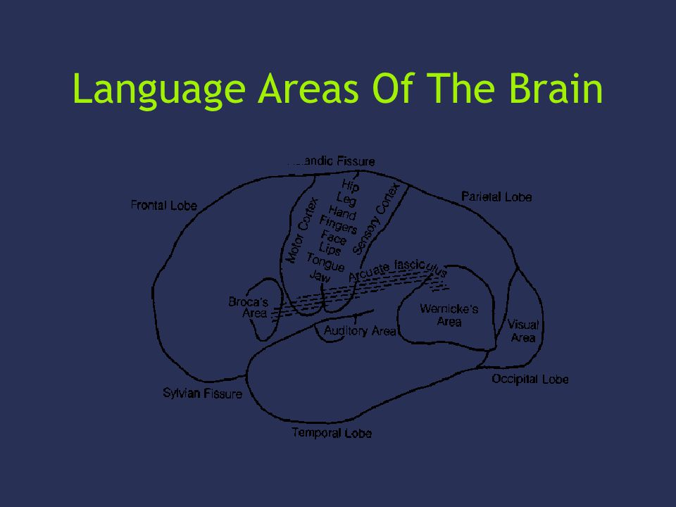 Language Areas Of The Brain