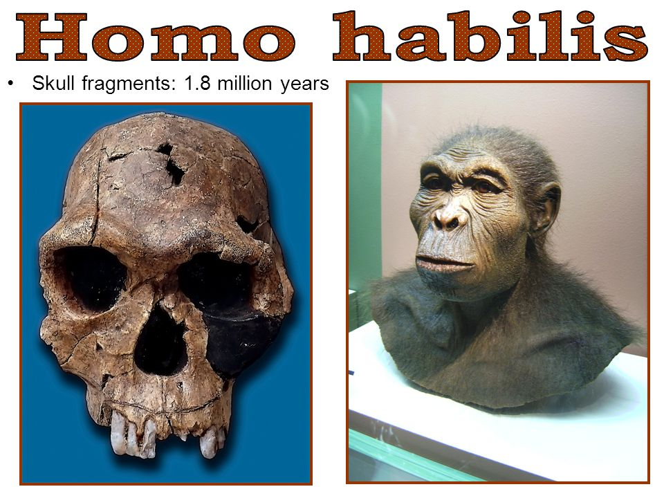 Skull fragments: 1.8 million years