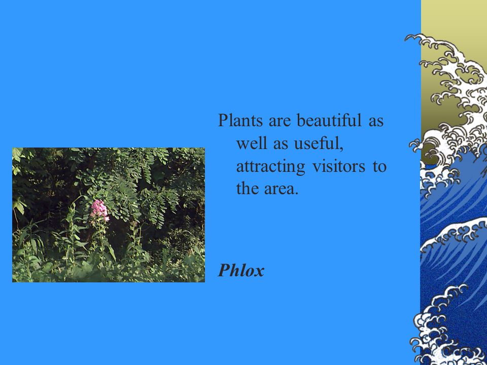 Plants are beautiful as well as useful, attracting visitors to the area. Phlox