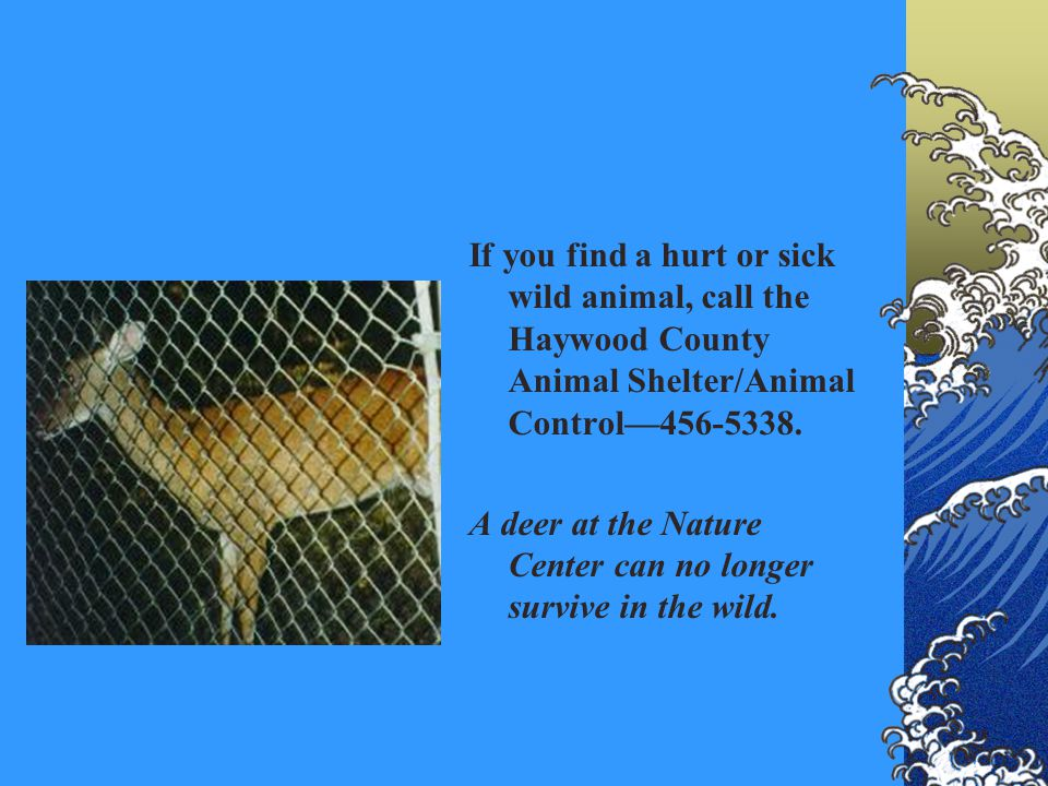If you find a hurt or sick wild animal, call the Haywood County Animal Shelter/Animal Control456-5338. A deer at the Nature Center can no longer survi