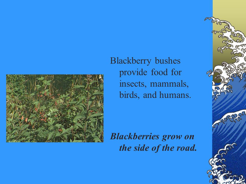 Blackberry bushes provide food for insects, mammals, birds, and humans. Blackberries grow on the side of the road.