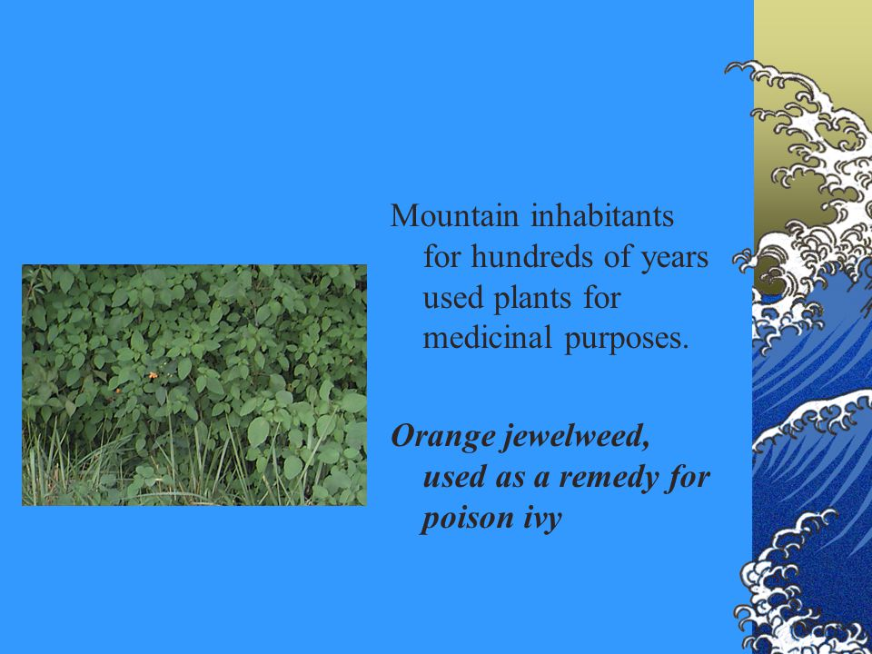 Mountain inhabitants for hundreds of years used plants for medicinal purposes. Orange jewelweed, used as a remedy for poison ivy