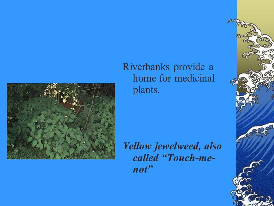 Riverbanks provide a home for medicinal plants. Yellow jewelweed, also called Touch-me- not