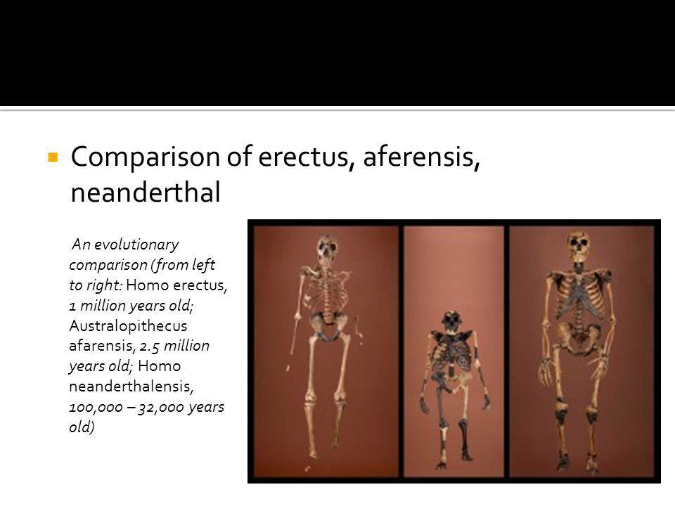 Comparison of erectus, aferensis, neanderthal An evolutionary comparison (from left to right: Homo erectus, 1 million years old; Australopithecus afar