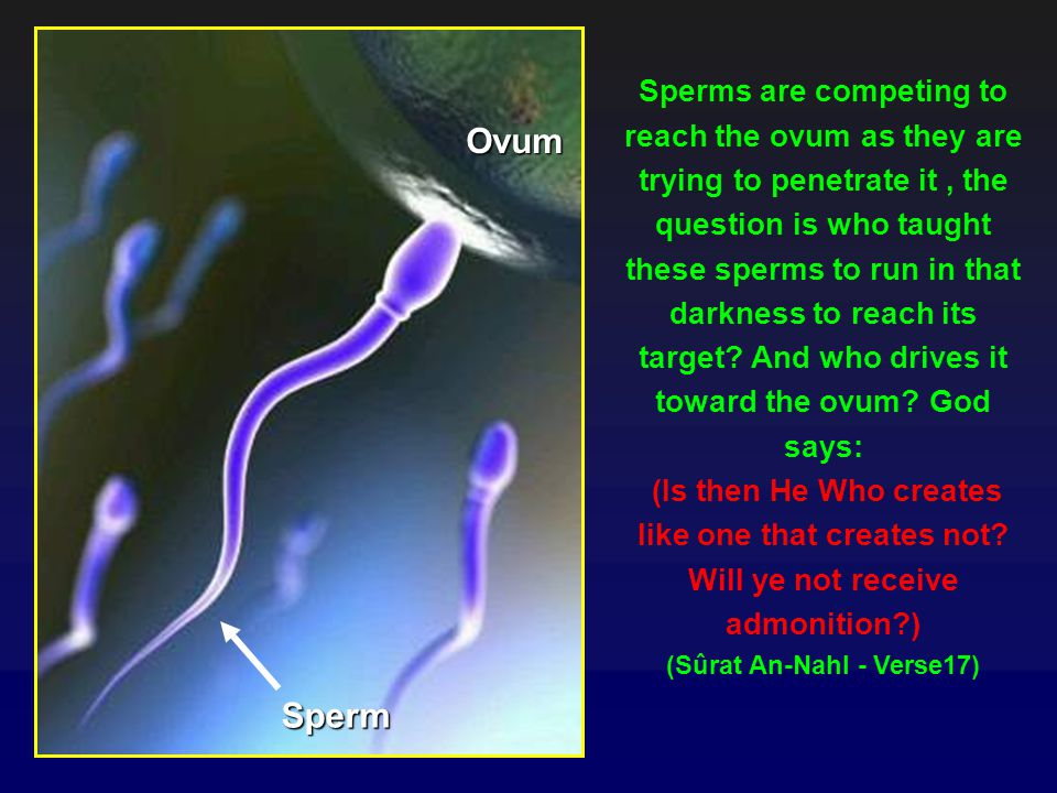 Sperms are competing to reach the ovum as they are trying to penetrate it, the question is who taught these sperms to run in that darkness to reach its target.