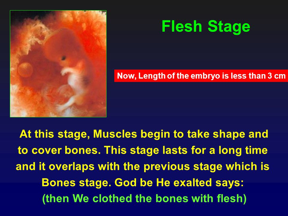 Flesh Stage At this stage, Muscles begin to take shape and to cover bones.