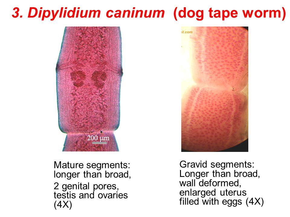 3. Dipylidium caninum (dog tape worm) Mature segments: longer than broad, 2 genital pores, testis and ovaries (4X) Gravid segments: Longer than broad,