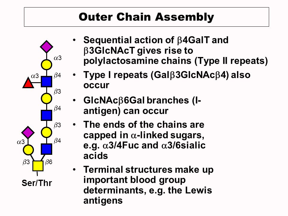 Outer Chain Assembly Sequential action of 4GalT and 3GlcNAcT gives rise to polylactosamine chains (Type II repeats) Type I repeats (Gal 3GlcNAc 4) also occur 4 3 4 3 4 3 3 3 Ser/Thr 3 6 GlcNAc 6Gal branches (I- antigen) can occur The ends of the chains are capped in -linked sugars, e.g.