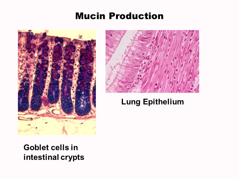 Lung Epithelium Goblet cells in intestinal crypts Mucin Production