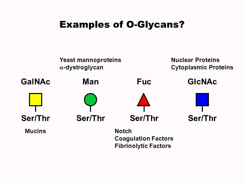 Examples of O-Glycans? Ser/Thr GalNAc Mucins Ser/Thr Man Yeast mannoproteins -dystroglycan Ser/Thr Fuc Notch Coagulation Factors Fibrinolytic Factors
