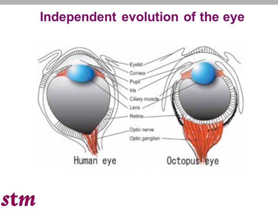 Independent evolution of the eye