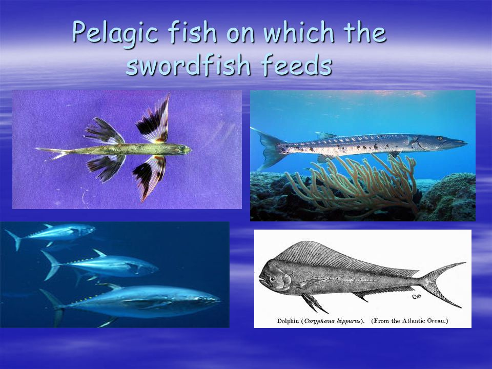 Pelagic fish on which the swordfish feeds