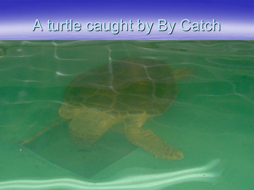 A turtle caught by By Catch