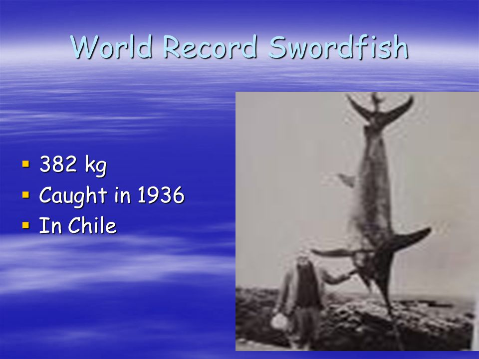 World Record Swordfish 382 kg 382 kg Caught in 1936 Caught in 1936 In Chile In Chile