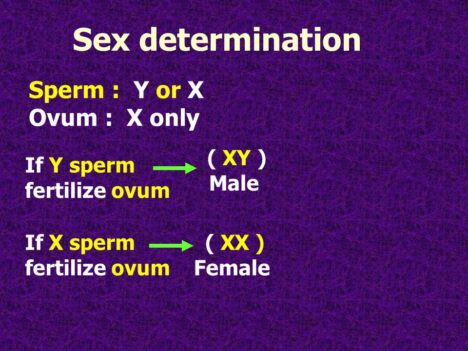 Sperm : Y or X Ovum : X only If Y sperm fertilize ovum ( XY ) Male If X sperm fertilize ovum Sex determination ( XX ) Female