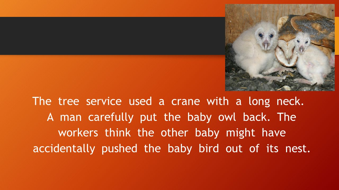 The tree service used a crane with a long neck. A man carefully put the baby owl back. The workers think the other baby might have accidentally pushed