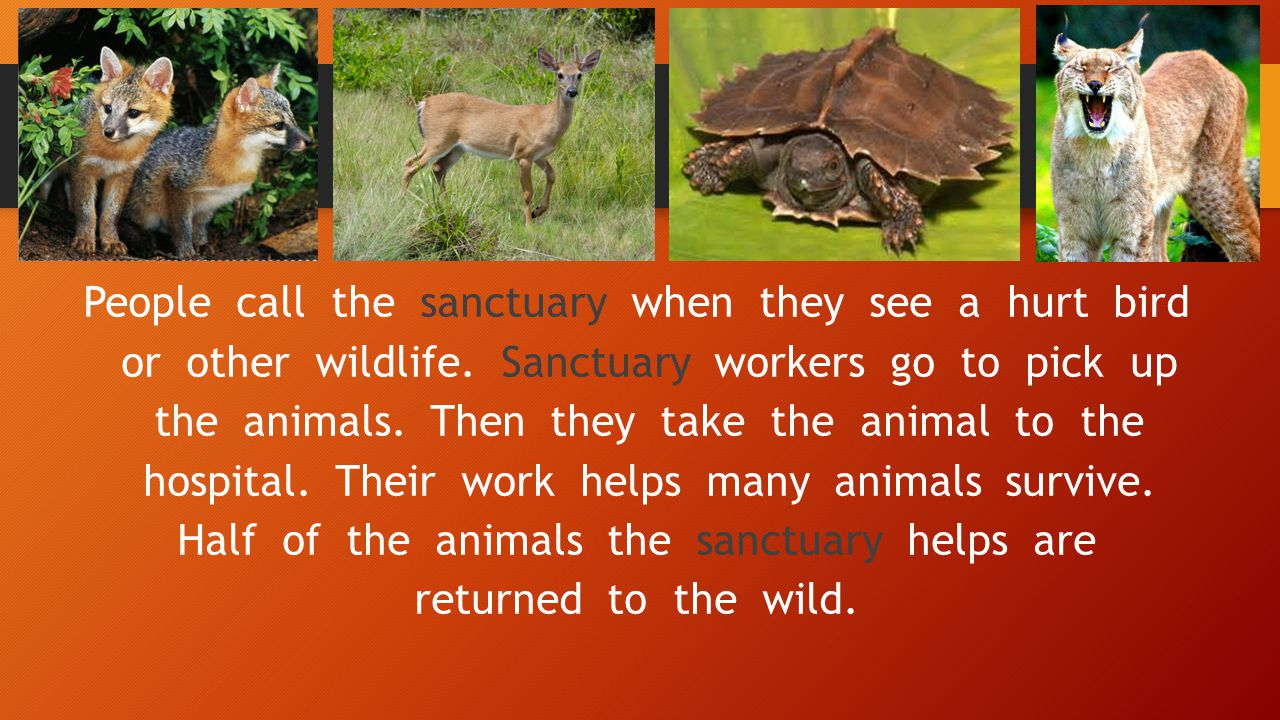 People call the sanctuary when they see a hurt bird or other wildlife. Sanctuary workers go to pick up the animals. Then they take the animal to the h