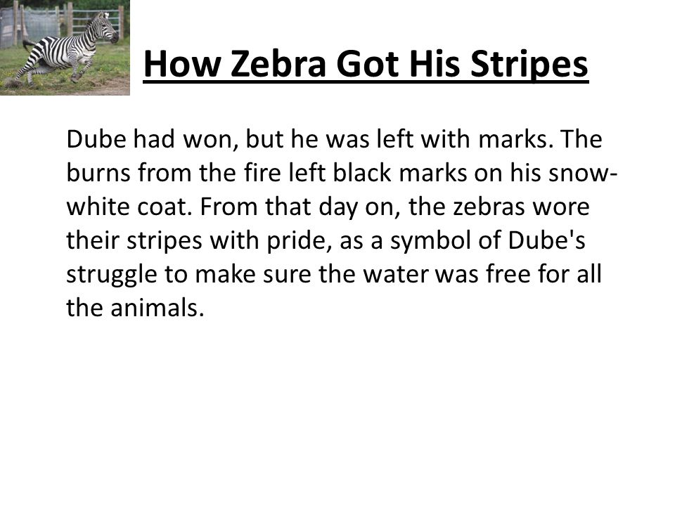 How Zebra Got His Stripes Dube had won, but he was left with marks.