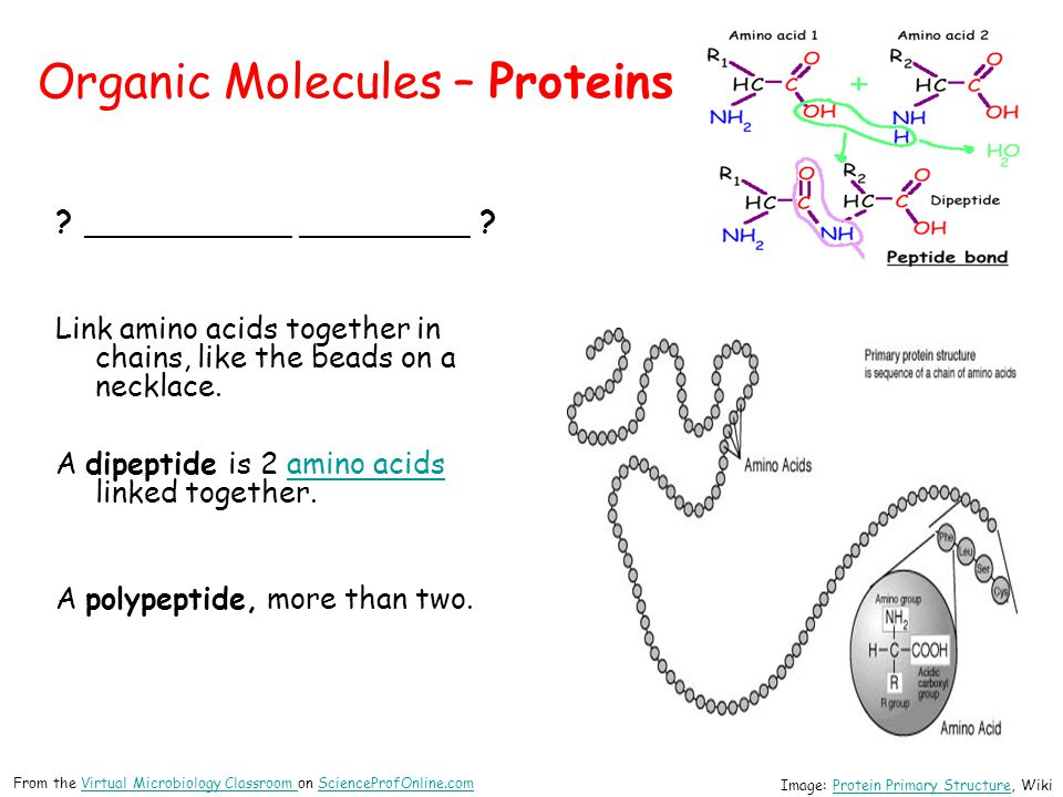 Organic Molecules – Proteins ? ___________ _________ ? Link amino acids together in chains, like the beads on a necklace. A dipeptide is 2 amino acids