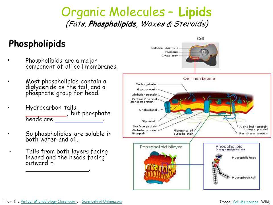 Organic Molecules – Lipids (Fats, Phospholipids, Waxes & Steroids) Phospholipids Phospholipids are a major component of all cell membranes. Most phosp