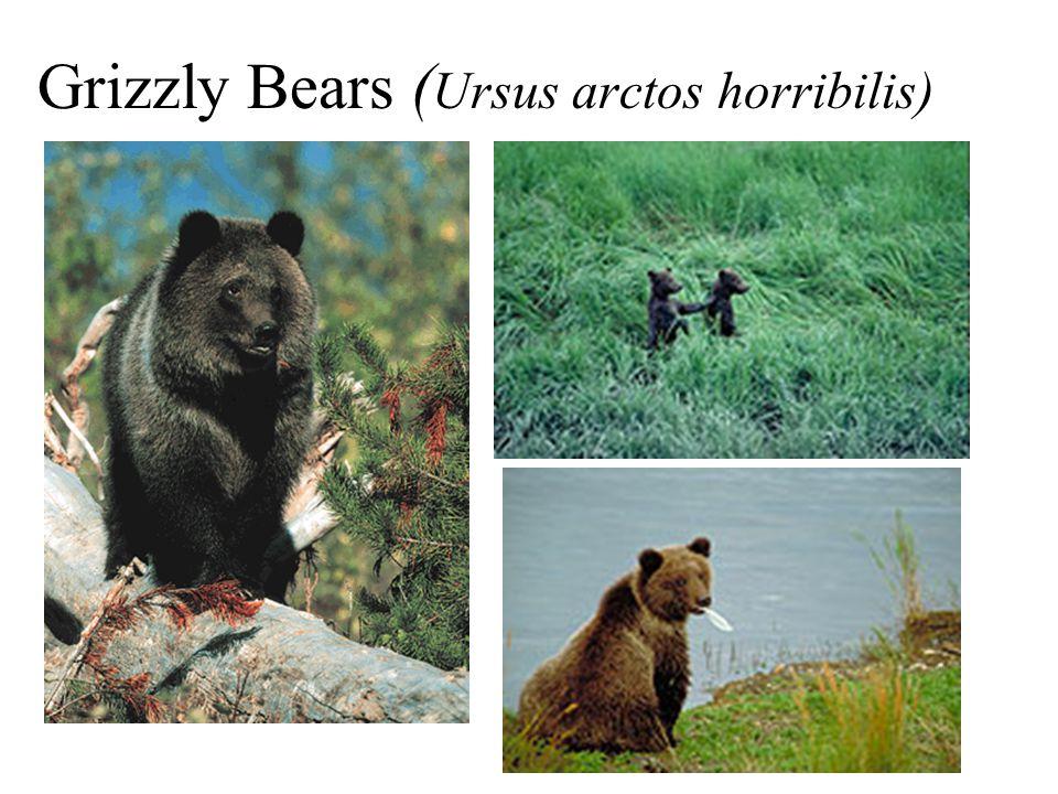 Grizzly Bears ( Ursus arctos horribilis)
